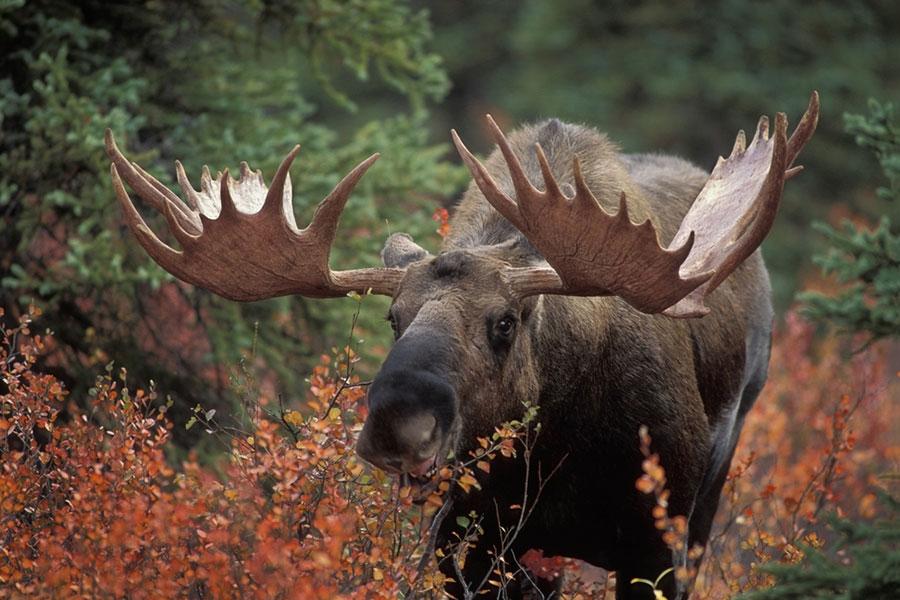 Image result for moose alaska