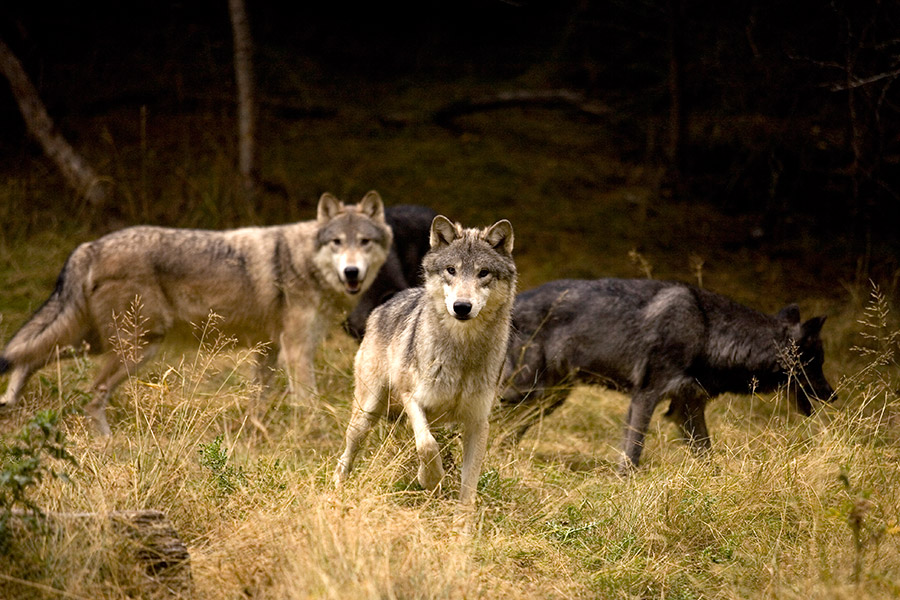 GOABC Supports Wolf Cull