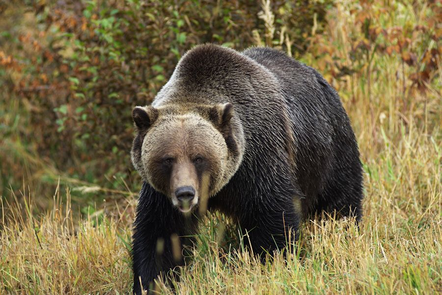 Did you Know Facts about the Grizzly Bear
