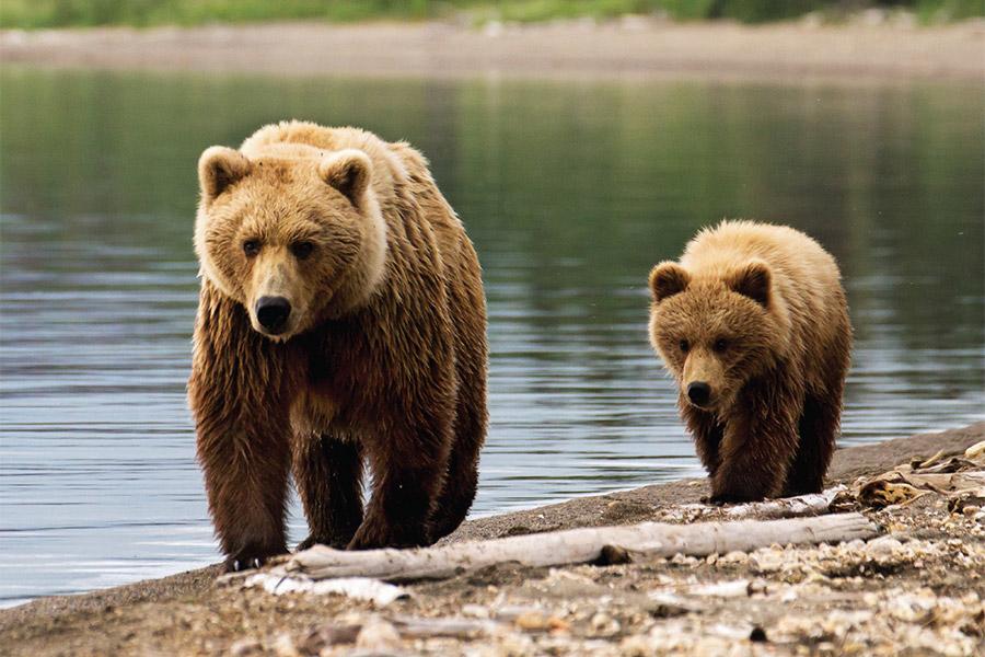 Grizzly Bear Management Program