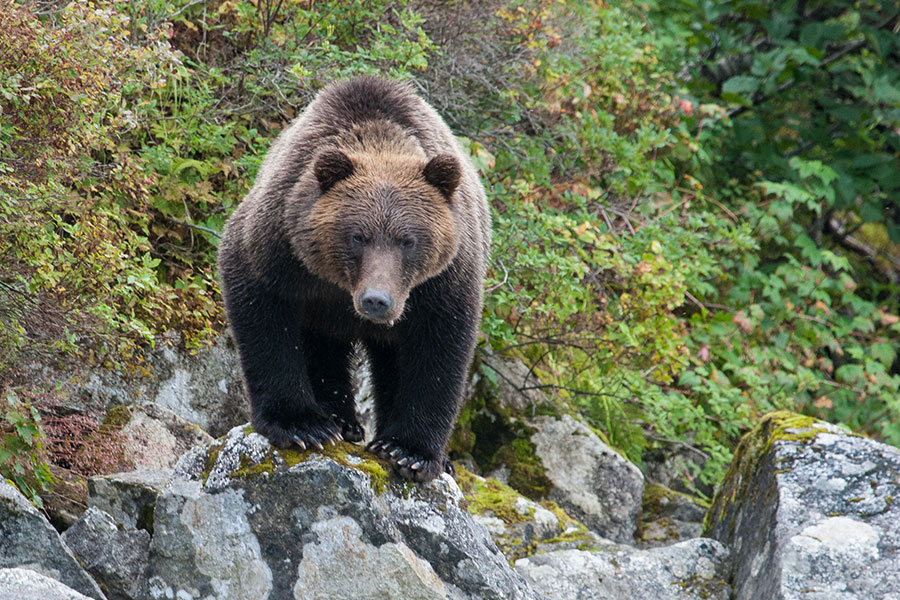 Politics Trumps Science in BC's Grizzly Bear Decision