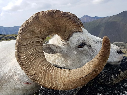 Ruby Range Outfitters Sheep