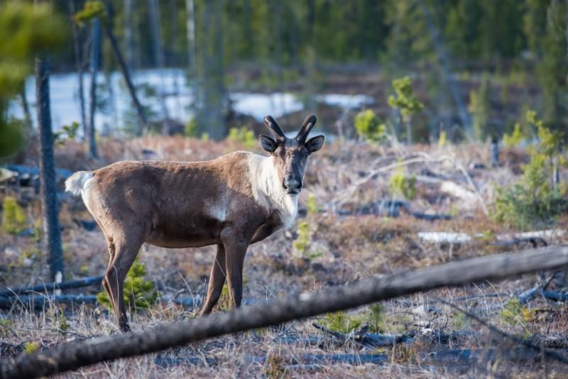 Does Primary Prey theory protect caribou in BC?